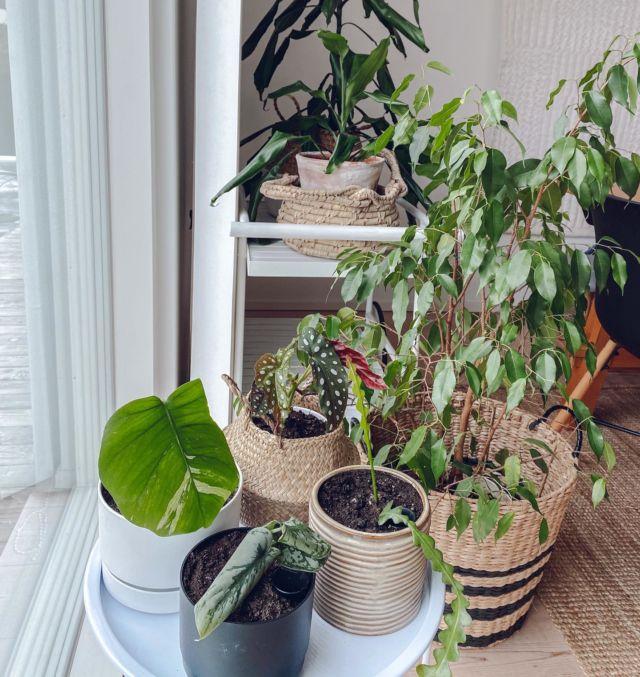 Mun miehen mukaan mä oon salakavalasti tekemässä meidän kodista kasvitieteellistä puutarhaa😂... Mitään en myönnä! (Paitsi sen, että mua ei olis kannattanut päästää viherkasvien huutokauppa -facebookryhmään🙈🙈🙈).  Etualalla uusimmat pistokkaat: Hopeaköynnös, kalanruotokaktus, monstera variegata ja pilkkubegonia🌱. Ps. Kellään myydä pistokasta anthurium regalesta?? Laita YV!! #viherkasvit #kasvihulluus #pistokkaat #hulluviherkasvinainen