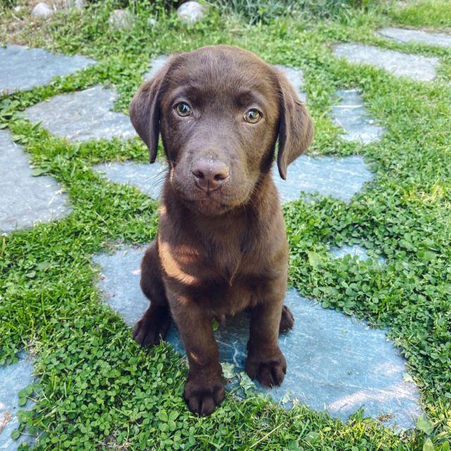 ‼️SÖPÖYSVAROITUS‼️ En tiedä mitään ihanampaa kuin koiranpennut😭! Tässä meidän suvun uusin tulokas, mieheni velipuoli, Bruno Gruner😁. Hän on ruskea labbis, kuten kuvasta näkyy. Voin kertoa, että koirakuumeeni EI ole ainakaan helpottanut.. #koiranpentu #puppylove #labradorinnoutaja #labradorian