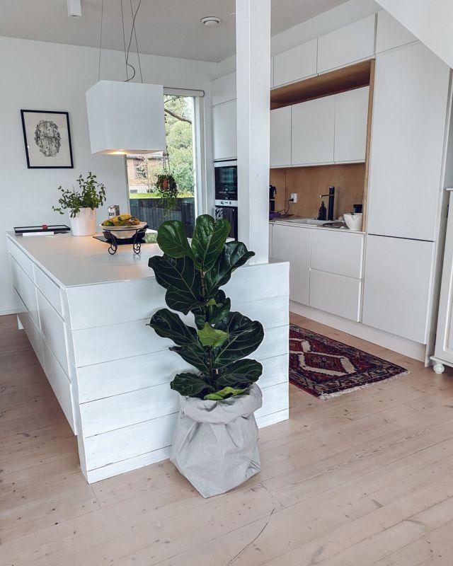 """Hei kaikki pitää ennen ja jälkeen -kuvista!😄🌱  Vuosi sitten syyskuussa ostin tämän lyyraviikunan Prisman poistolaarista. Katsokaa miten se on vuoden aikana kasvanut! Pituutta sillä on jo 143cm. Mun mielestä kasveissa on just parasta se kun katsoo niiden kasvavan ja tekevän uusia lehtiä. Siksi en osta enää kotiin juurikaan niitä """"aikuisia"""" kasveja kaupasta, vaan kasvatan pistokkaista. Mun uusin harrastus on myös rescue-kasvit. Nimittäin mun yhtiökumppani @janskubansku on jo luovuttanut mulle kaksi terminaalivaiheessa olevaa kasviaan, jotka koetan herättää vielä elävien kirjoihin!😂  Kuvailin eilen storyyn kaikki mun viherkasvit, joita on nyt yhteensä 30. Se on mun mielestä aina hallittu määrä vielä. Ja hei mikä edistyminen - en oo tappanu kuin melkein yhden kasvin, mut senkin ehdin pelastaa pistokkaiksi, jotka sain istutettua uudelleen☺️. Entinen kukkamurhaaja on nykyinen viherkasvihullu!! Kuka muu on innostunut kasveista ja kuinka monta löytyy kotoa??? #viherkasvit #lyyraviikuna #indoorplants"""
